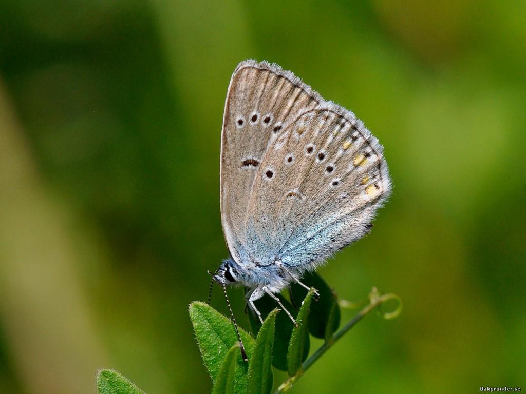 Silverblåvinge Polyommatus amandus
