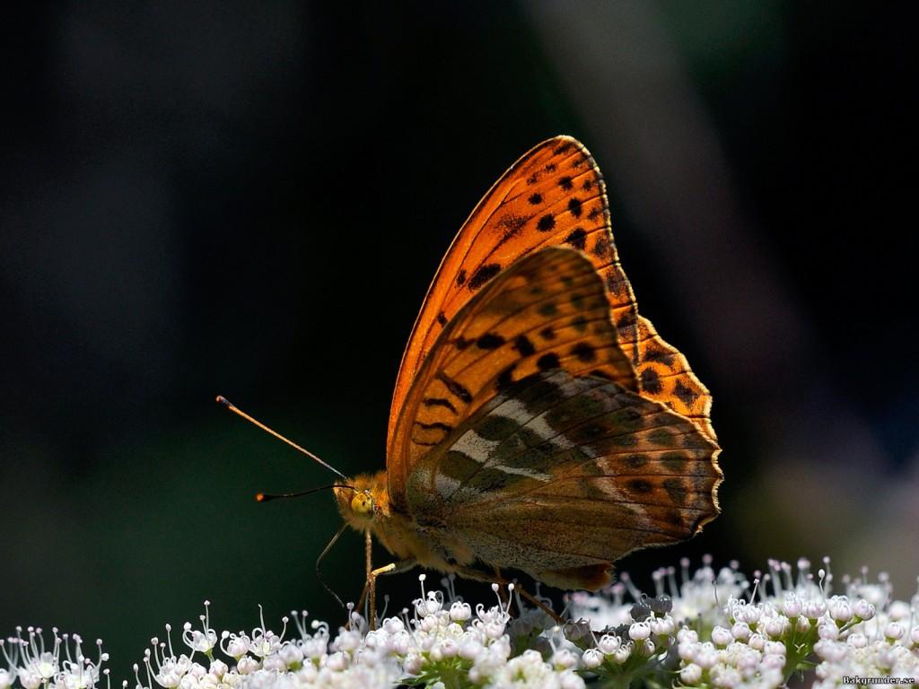 Silverstreckad pärlemorfjäril Argynnis paphia