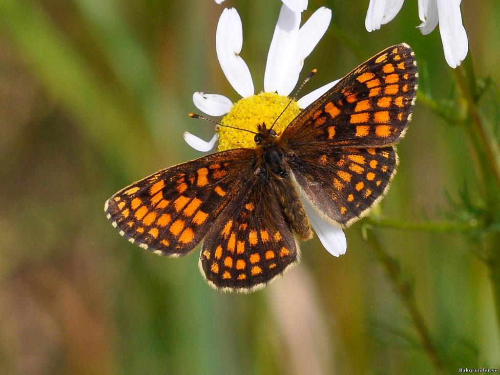 Skogsnätfjäril - Melitaea athalia