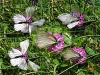 Hagtornsfjärilar