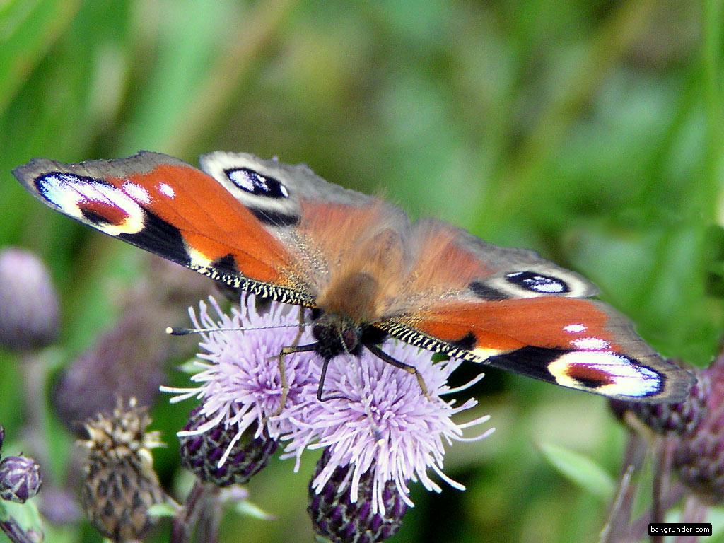 http://www.bakgrunder.se/pub/butterfly/bild/pafageloga2.jpg