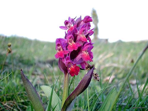 Orkidé Adam och Eva