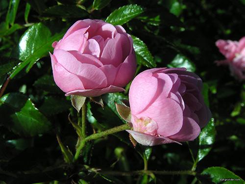 Rosor  rosa-portlandica