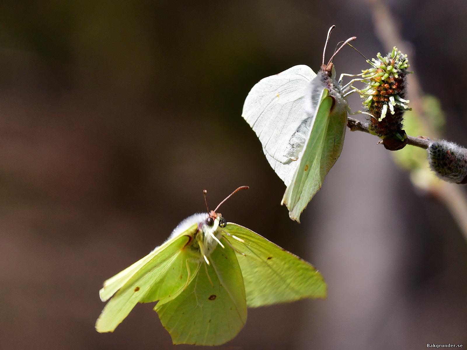 Citronfjäril 2020 Gonepteryx rhamni