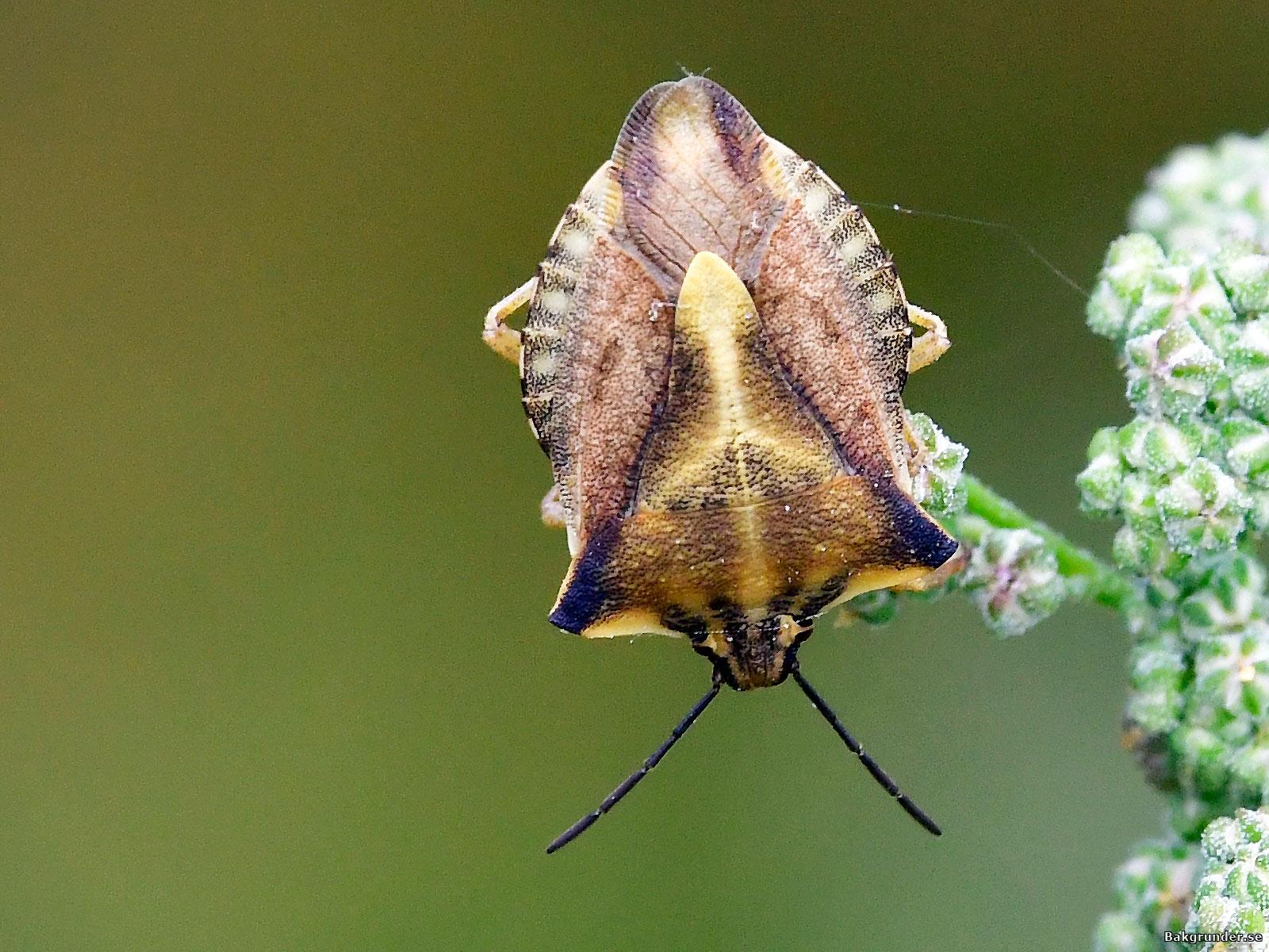 Bred bärfis Carpocoris fuscispinus