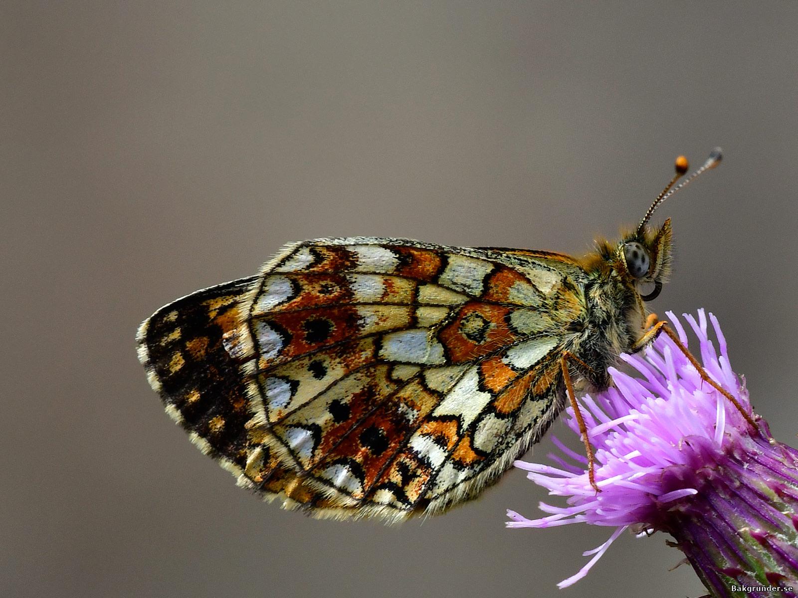 Brunfläckig pärlemorfjäril Boloria selene