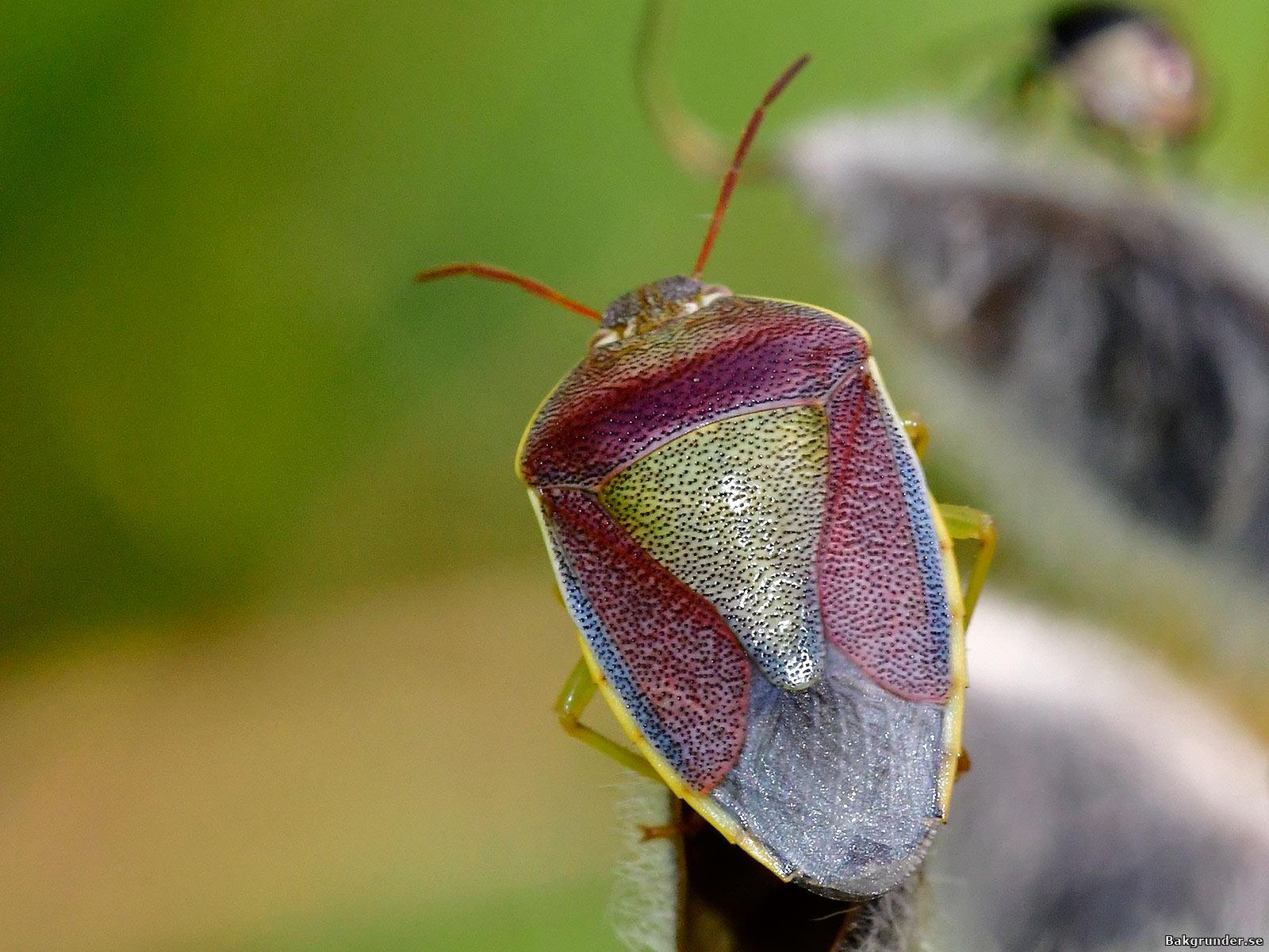 Harrisbärfis Piezodorus lituratus