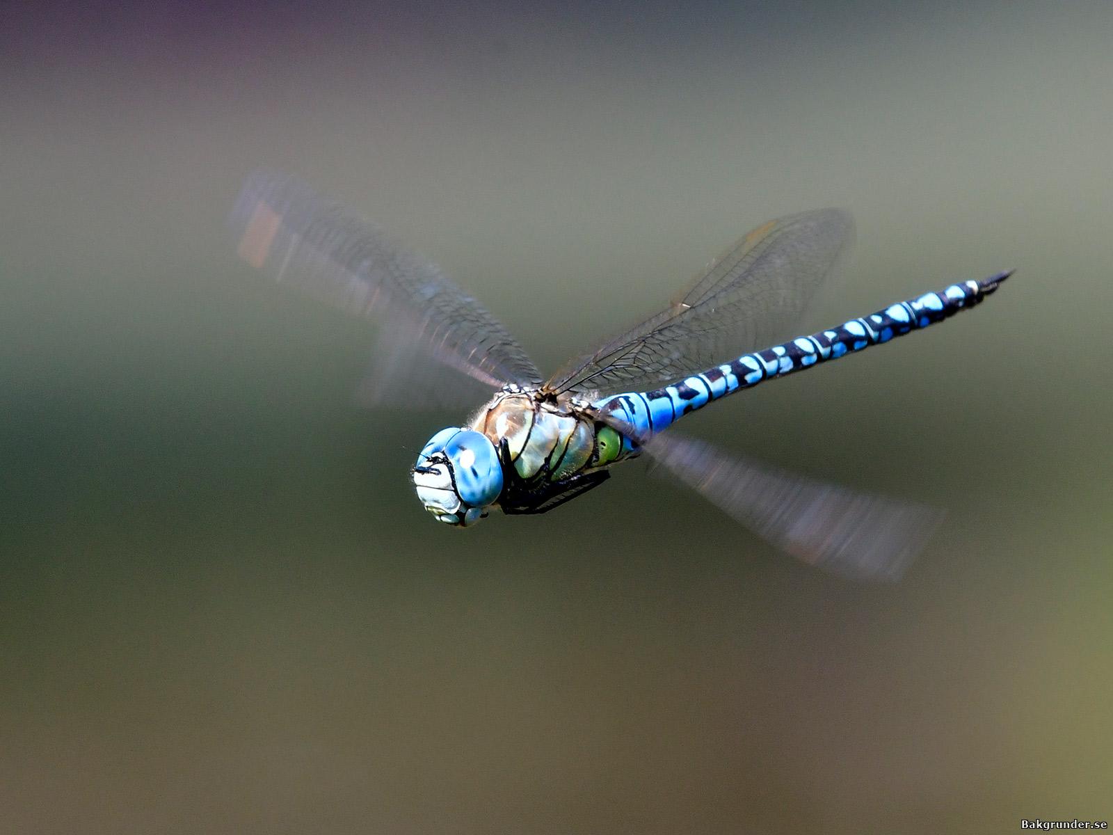 Klarblå mosaikslända Aeshna affinis