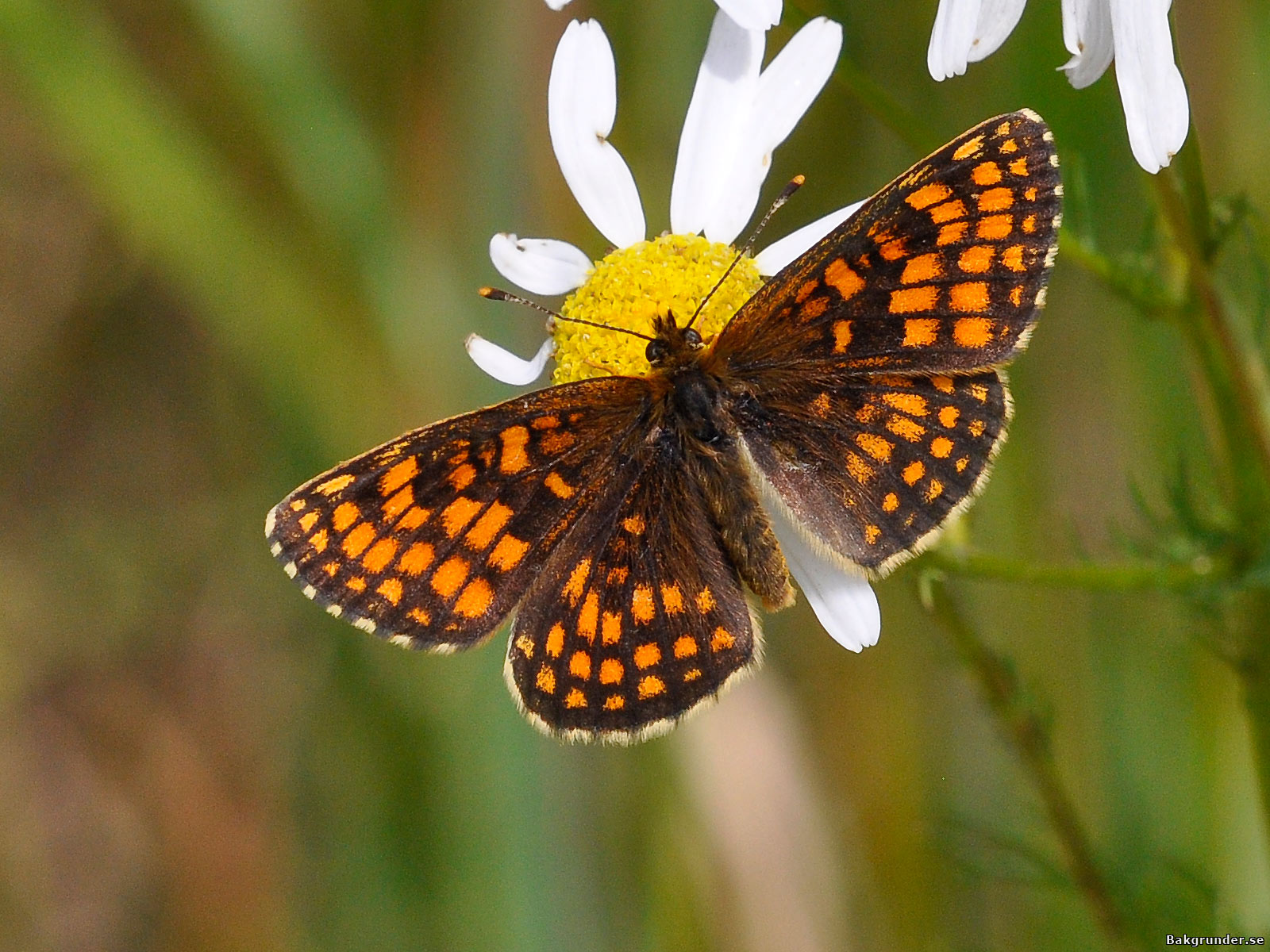 Skogsnätfjäril - Heath Fritillary
