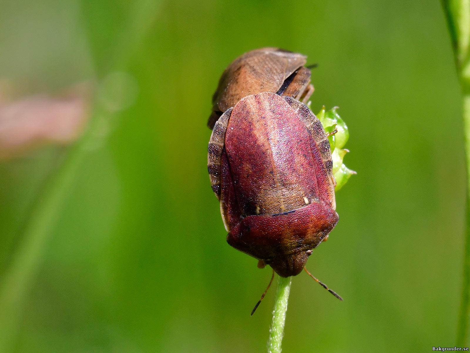 Starrbärfis Eurygaster testudinaria